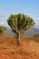 Euphorbia Tree Tsvao East