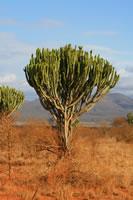 Euphorbia Tree Tsvao East